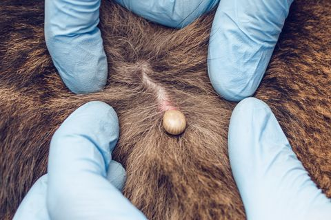 The Right Way to Remove a Tick from Your Dog, According to a Veterinarian