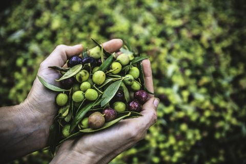 A Handful of Arbequina Olives, freshly harvested
