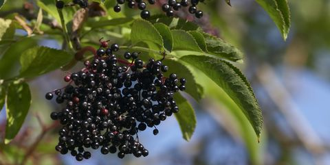 Hanging cluster of black elderberries Sambucus nigra