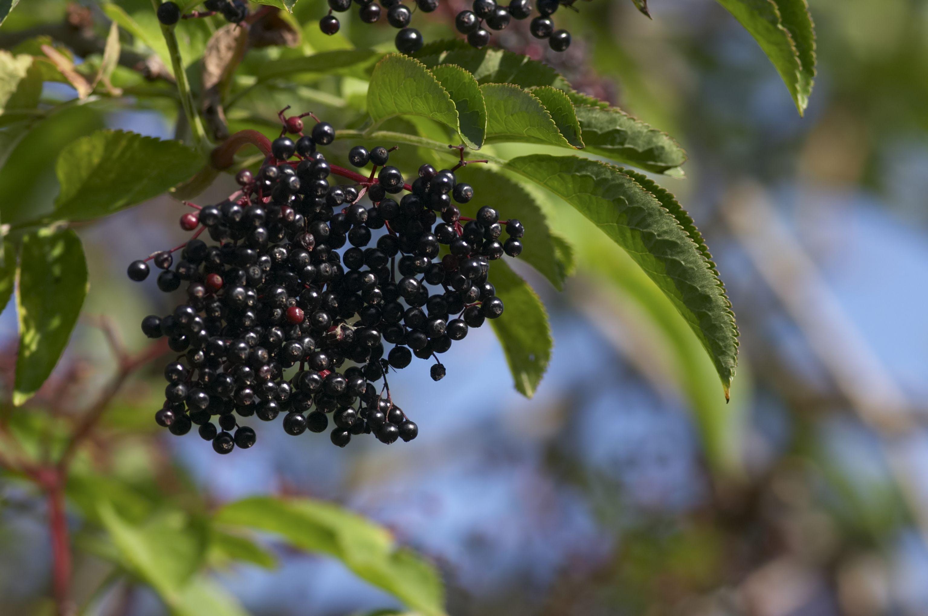 Hanging cluster of black elderberries Sambucus nigra