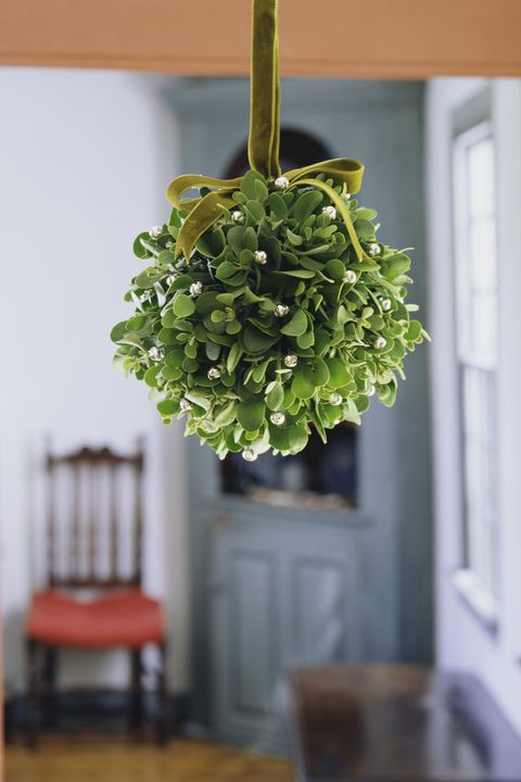 Hanging cluster of mistletoe
