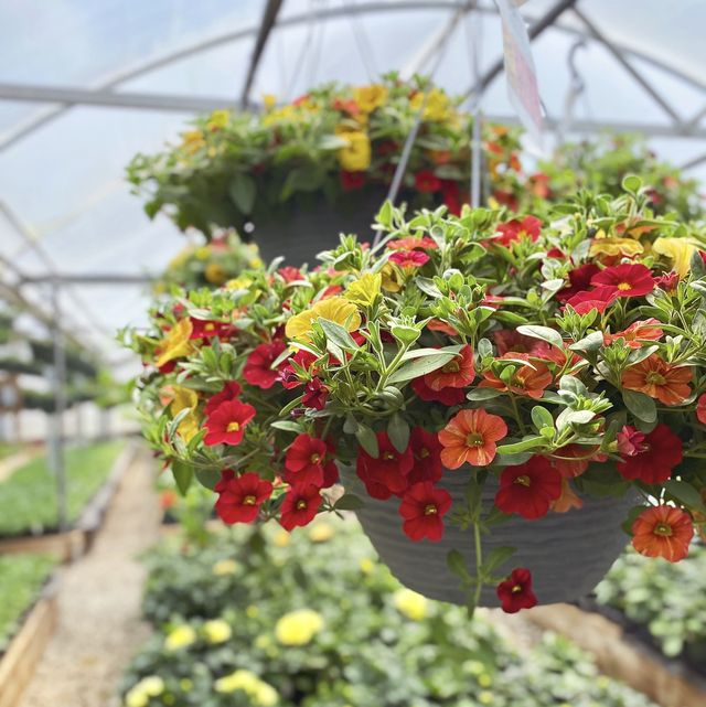 hanging basket filled with colorful red, yellow and orange petunias for sale inside a greenhouse at a garden center