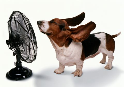 HAPPY DOG STAYING COOL BEING BLOWN AWAY BY FAN