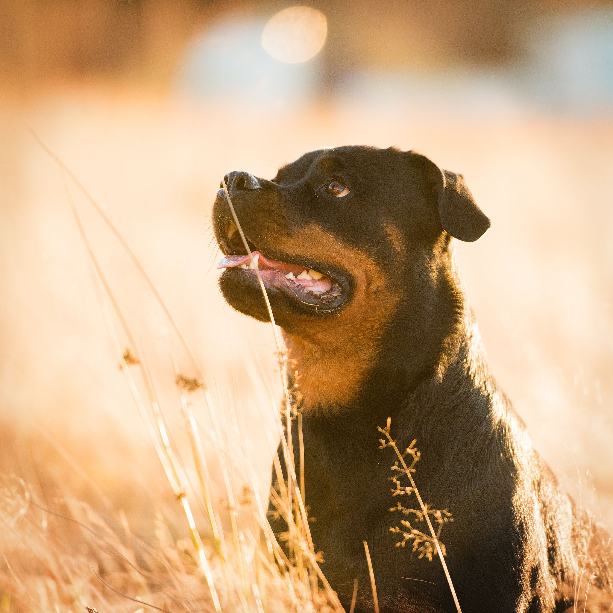 Top Dog Breeds -- rottweiler