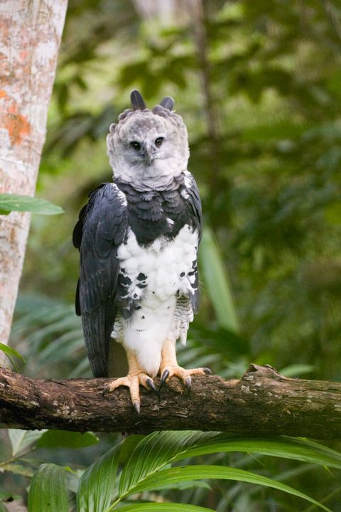 harpy eagle from peregrine fund re introduction programme, panama
