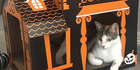 Cat, Felidae, Small to medium-sized cats, Orange, Whiskers, Domestic short-haired cat, Carnivore, European shorthair, Kitten, Asian,