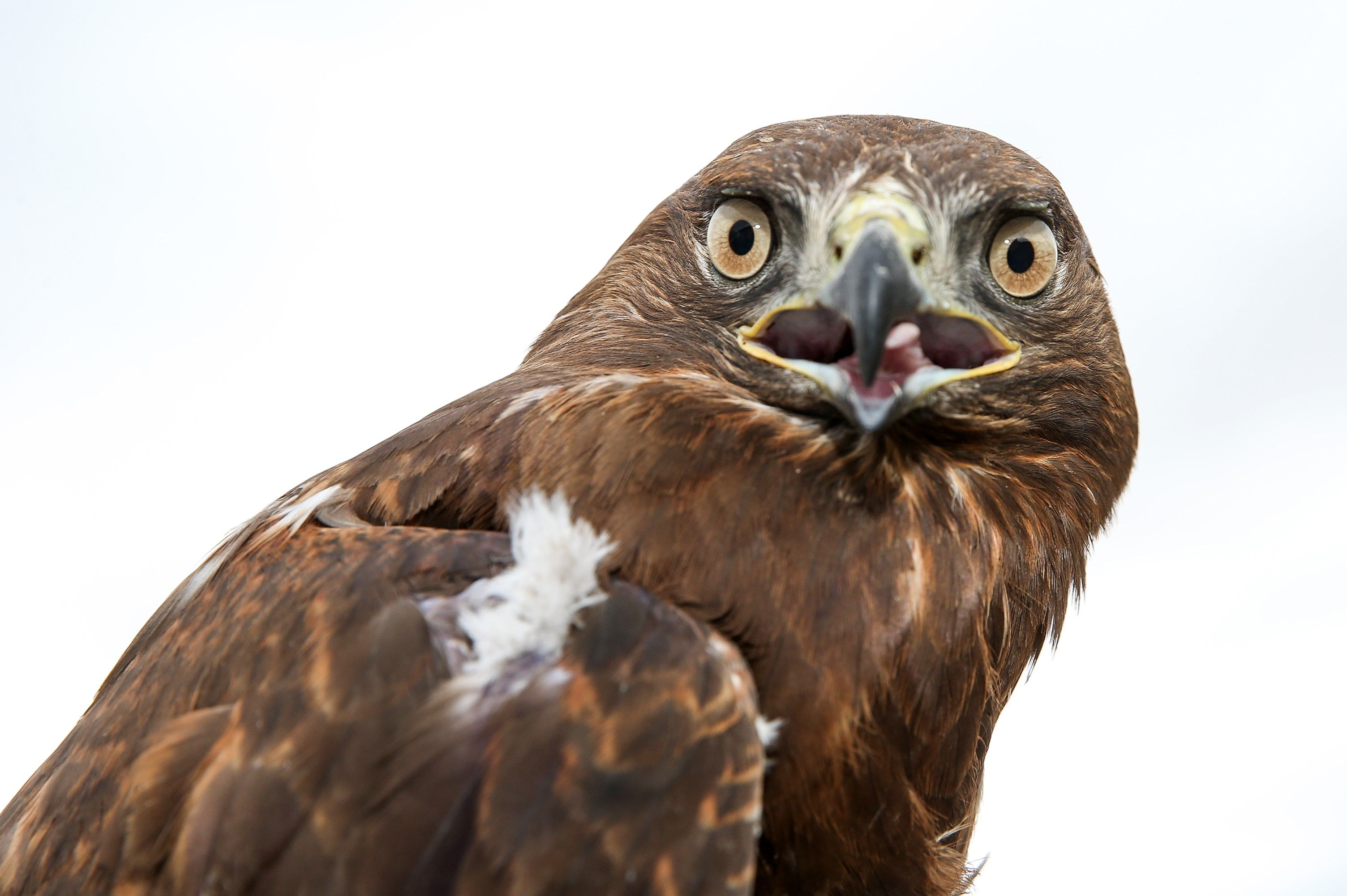 This New York Hawk Love Triangle Proves Love Is Dead