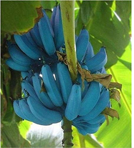You Should Be Planting Blue Java Bananas, Because They Taste Like Ice Cream