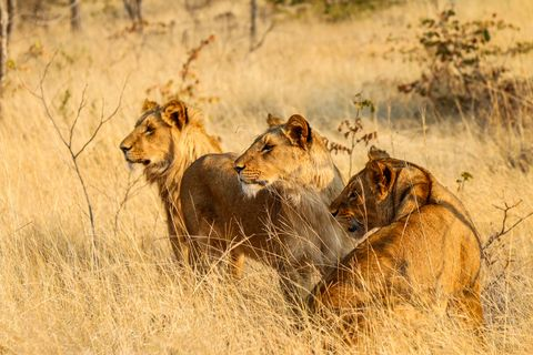 Lions hunting in the savannah of Zambia,