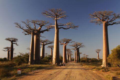 Tree, Adansonia, Woody plant, Sky, Plant, Road, Architecture, Landscape, Palm tree, Savanna,