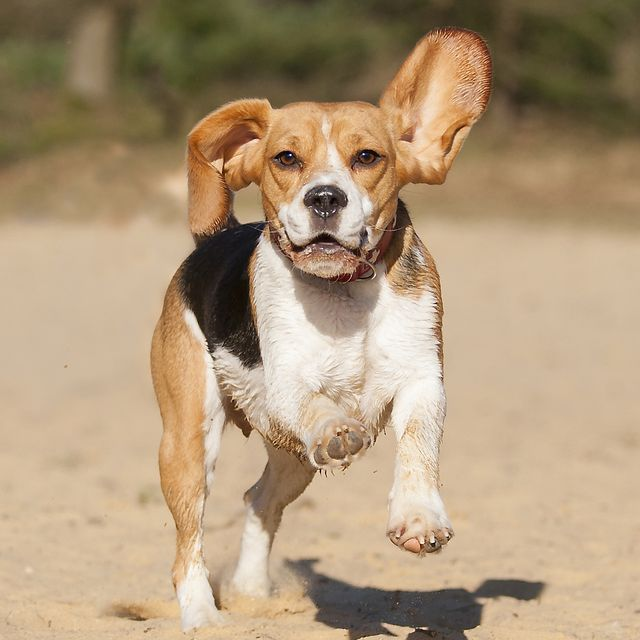 Stories Tales Go Dog Go: The Healthiest Dog Breeds: Australian Cattle Dog, Beagle