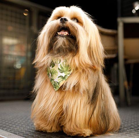 healthiest-dog-breeds-lhasa-apsos