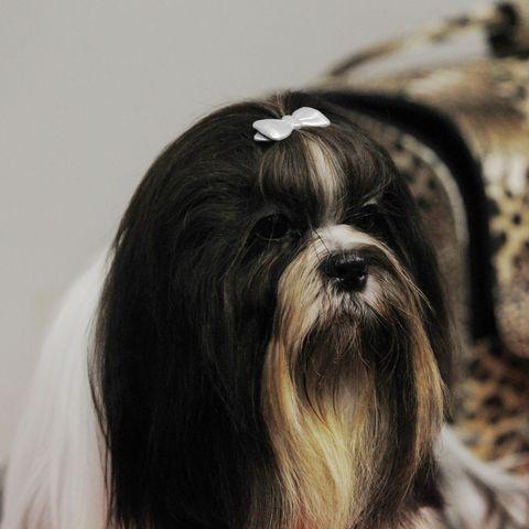 healthiest-dog-breeds-shih-tzus