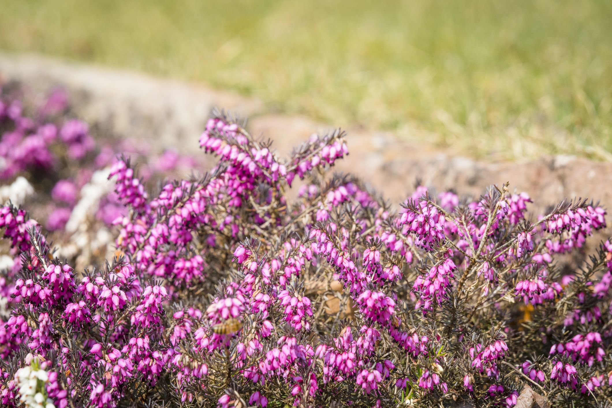Wild heather in vibrant purple colors