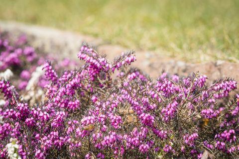 Wild heather in vibrant purple colors