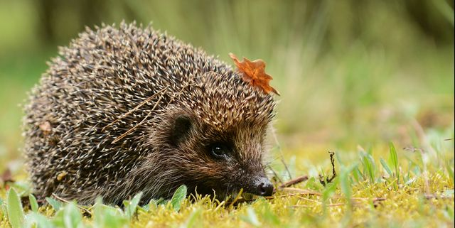 what to feed hedgehogs
