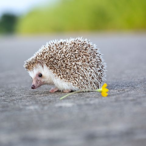 Hedgehog crossing the road