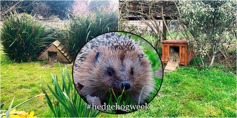 Mammal, Hedgehog, Erinaceidae, Domesticated hedgehog, Porcupine, Rodent, Grass, Muskrat, Groundhog, Meadow Vole,