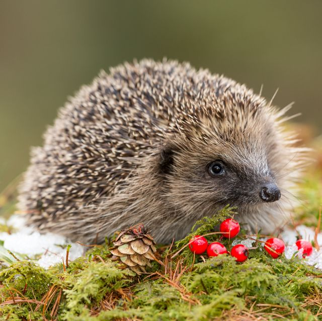 hedgehog in winter with snow, red berries and green moss