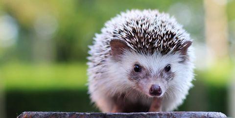 Hedgehog looking