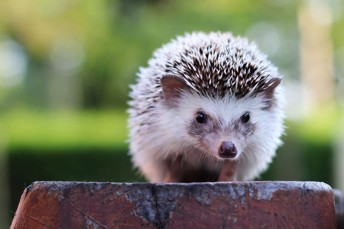 What It S Like Having A Hedgehog As A Pet Caring For A Pet Hedgehog