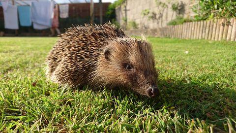Hedgehog On Grass At Back Yard