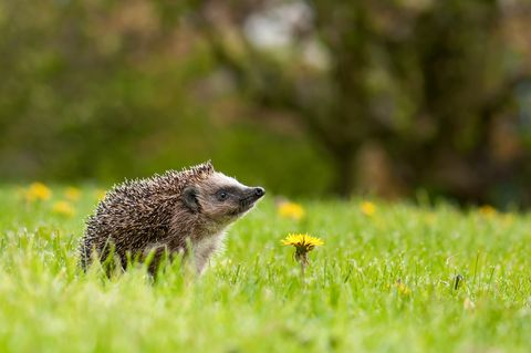 Hedgehog on the meadow with dandelion flower.