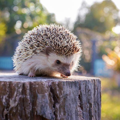 a hedgehog on the stump