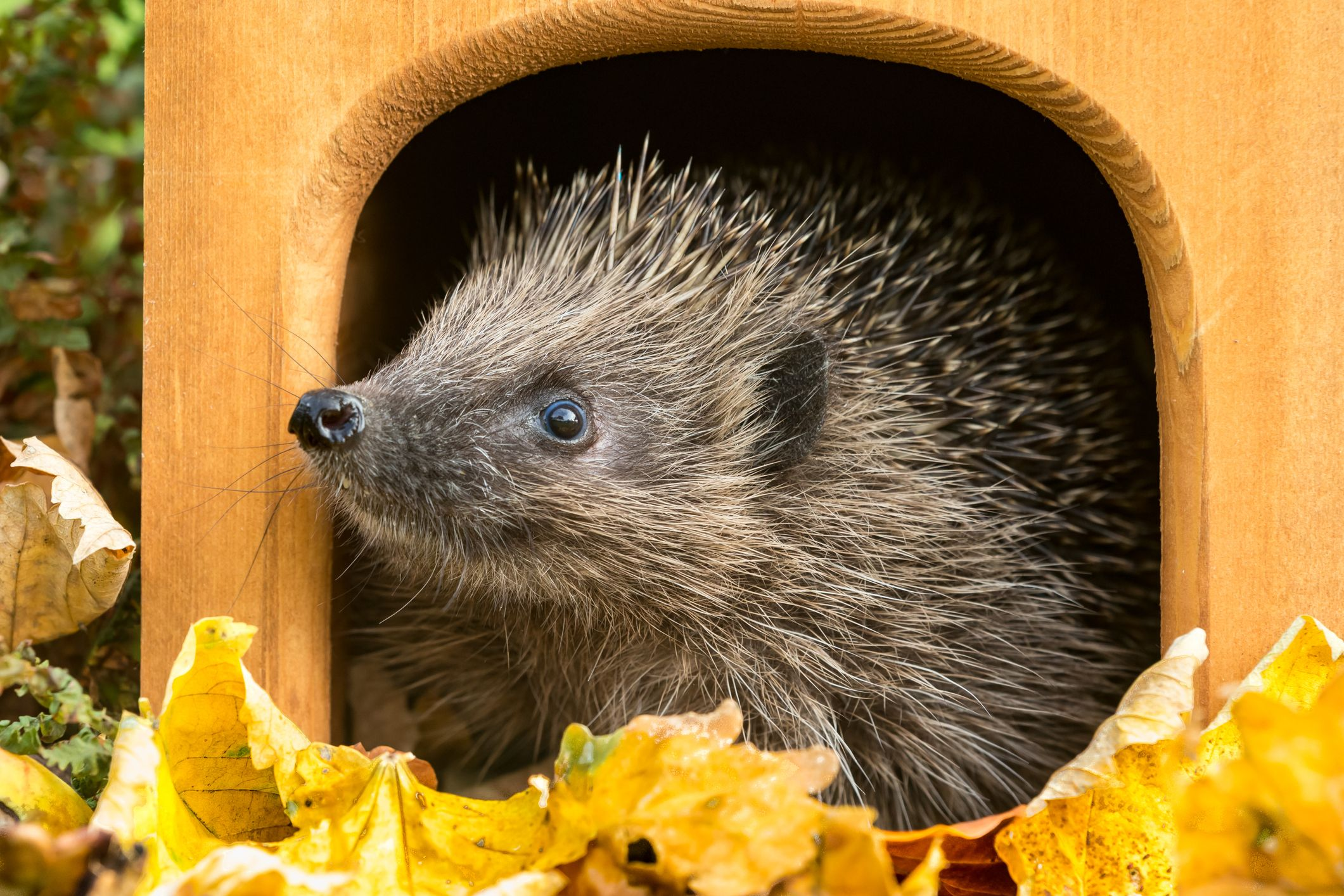 How to make a hedgehog house
