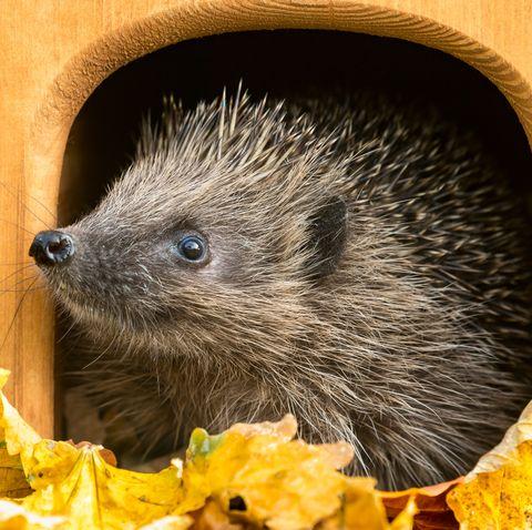 hedgehog, scientific name erinaceus europaeus peeping out of hedgehog house in autumn  head raised, facing left horizontal space for copy