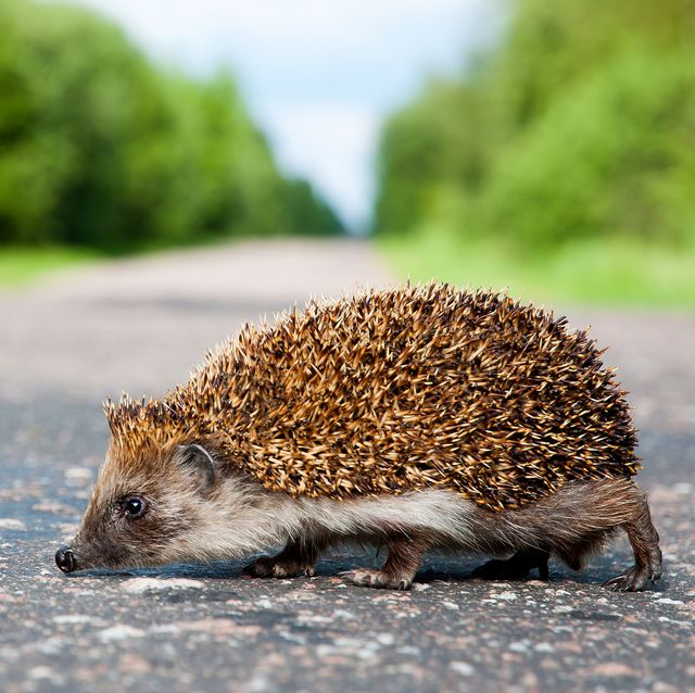 how to help hedgehogs from uk roads