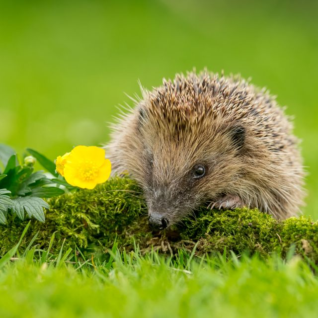 hedgehog street launches nationwide garden challenge this spring