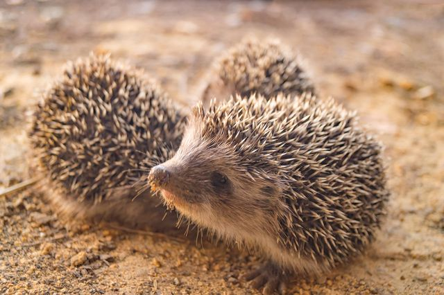 three small hedgehogs walking on the ground