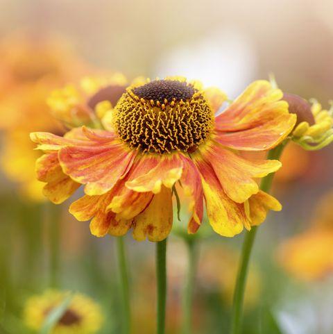 beautiful summer flowering, orange helenium flowers also known as common sneezeweed, false sunflower, helen's flower, yellow star