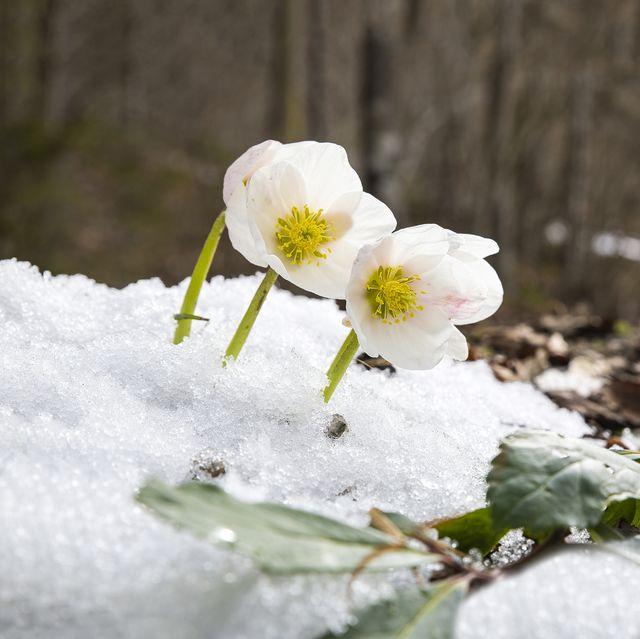 schneerose helleborus niger christmas rose erblüht im salzkammergut, almsee bei grünau, oberösterreich, Österreich, europa