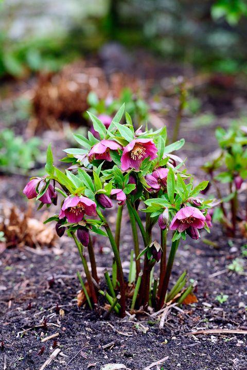 15 best shade perennials shade loving perennial flowers and plants lenten rose mightylinksfo