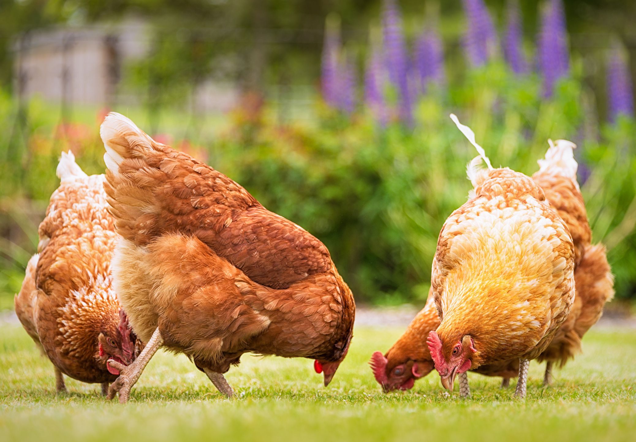 6 Reasons You Should Be Buying Free-Range Eggs