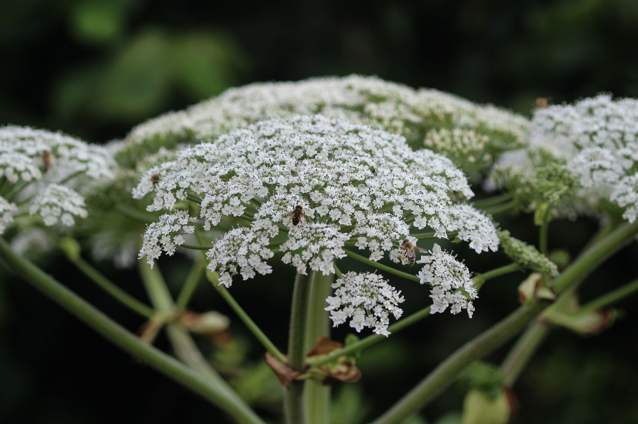 Heracleum sphondylium, commonly known as hogweed, common hogweed or cow parsnip