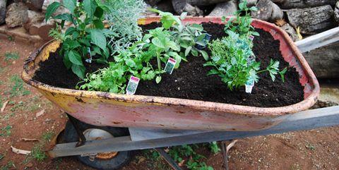 Plant, Herb, Flowerpot, Flower, Garden, Wheelbarrow, Soil, Houseplant, Annual plant, Vehicle,
