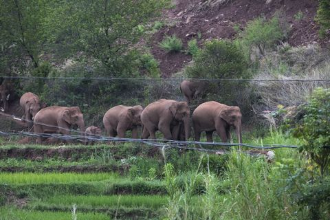 wandering elephant herd reaches kunming city