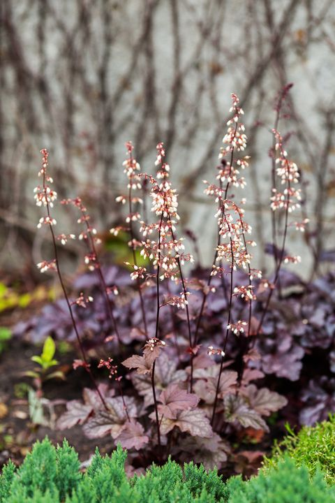 perennial plant heuchera micrantha in the garden purple leaves and blooming tiny flowers