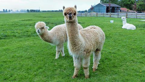 Alpaca's zijn enorm populair.