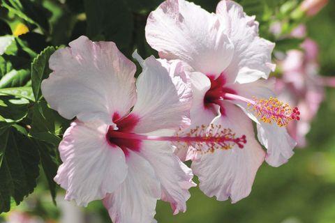 hibisco, una planta con flor y propiedades para la salud