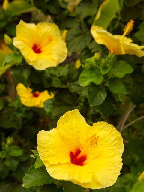 Vegetation, Yellow, Plant, Flower, Petal, Botany, Flowering plant, Hawaiian hibiscus, Annual plant, Coquelicot,