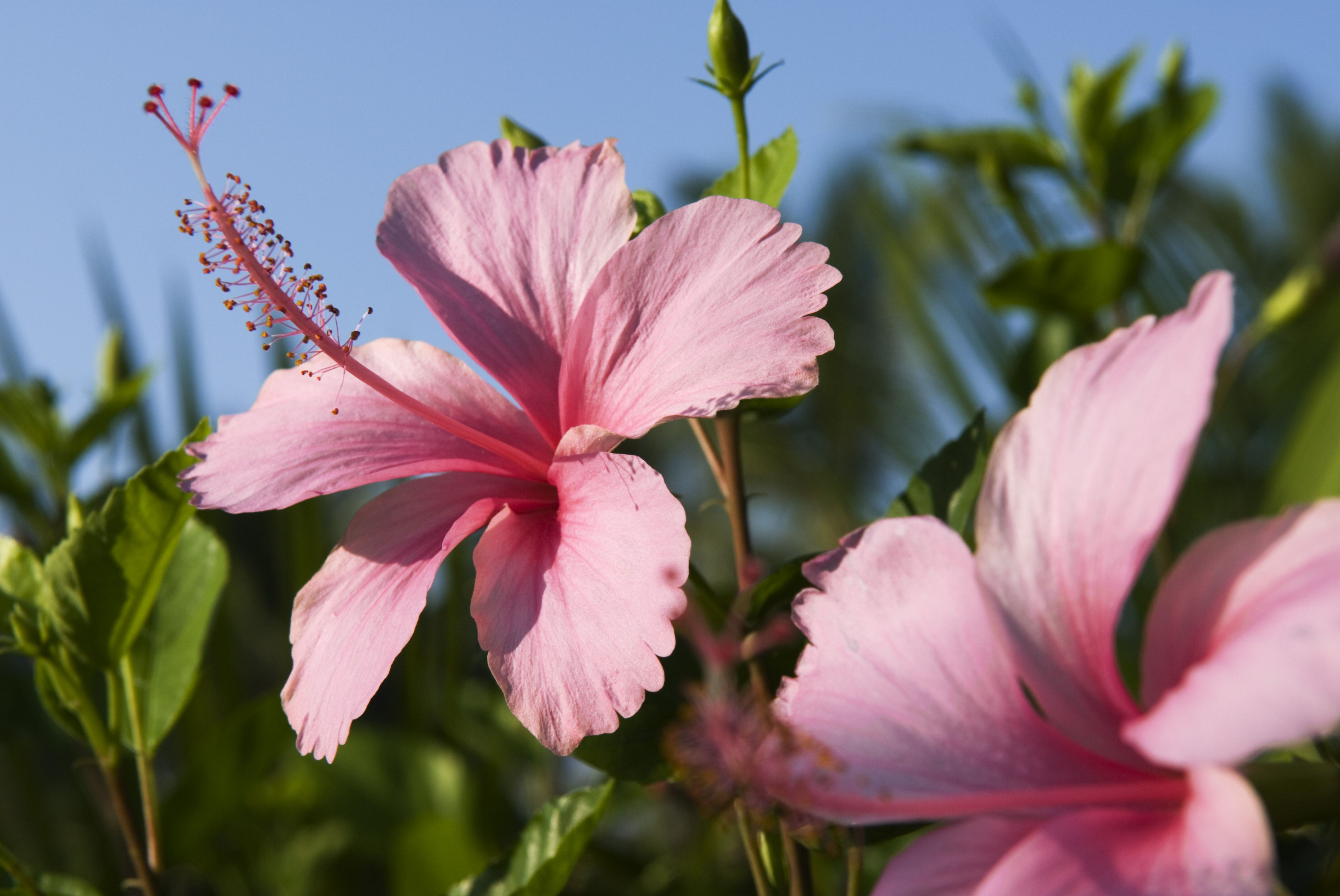 7 Health Benefits Of Hibiscus Tea What Is Hibiscus Tea Good For
