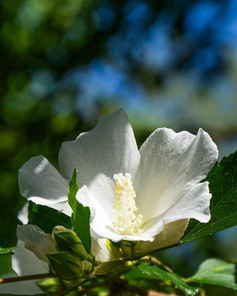 hibiscus syriacus in the garden royalty free image 1574016919.jpg?crop=0.532xw:1.00xh;0 - 15 Melhores FLORES BRANCAS para o seu JARDIM