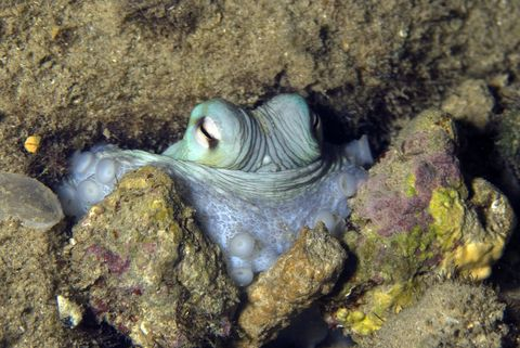 Hiding Caribbean reef octopus (Octopus briareus) looking out from rock crevice Curacao, Netherlands Antilles