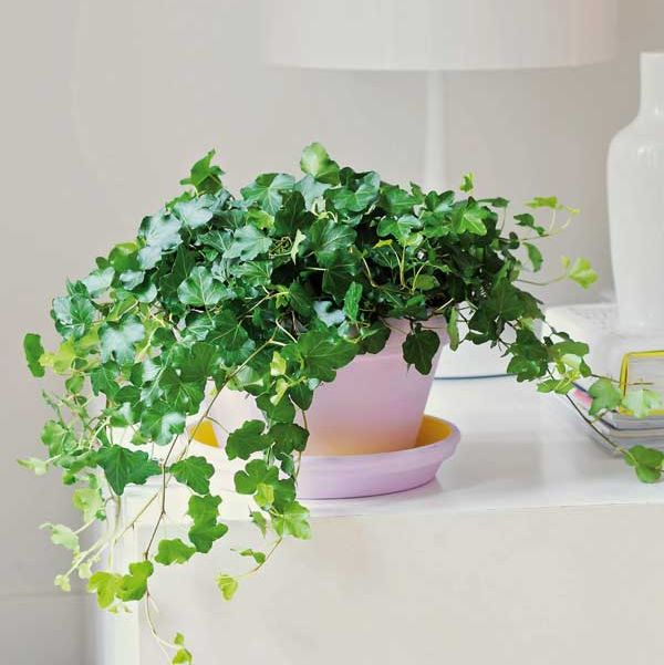 Flowerpot, Green, Houseplant, Plant, Ivy, Flower, Botany, Herb, Room, Ivy family,