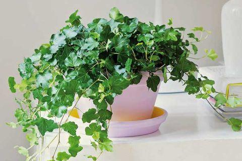Hiedra Perfecta Para Interior Y Exterior Cuidados Y Tipos - Plantas-verdes-exterior
