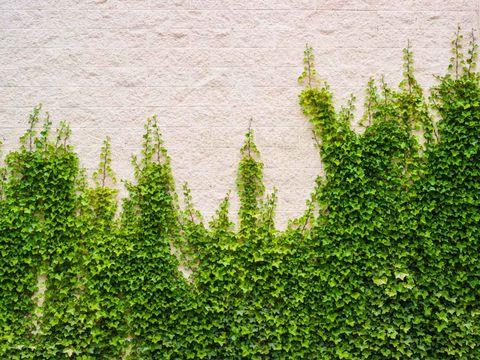 Plant, Green, Tree, thuya, Vegetation, Shrub, Woody plant, Leaf, Grass, Evergreen,